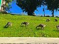 Canada Geese East Hills.jpg