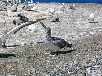 Australasian gannet - Image: Cape Kidnappers Gannet Colony