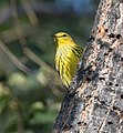 Cape May Warbler (37700903761).jpg