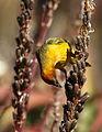 Cape Weaver, Ploceus capensis at Walter Sisulu National Botanical Garden - male (9645087227).jpg