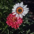 Cape daisy and zinnia IMG-7917.jpg