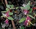 Capparis sp.- Host plant of Ixias pyrene (Linnaeus, 1764) – Yellow Orange-tip, Cepora nerissa (Fabricius, 1775) – Common Gull DAS3567.jpg