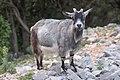 Capra aegagrus (Chèvre sauvage) - 61.jpg