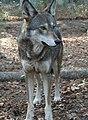 Captive male red wolf (7747763134).jpg