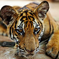 Captured tiger cub (3952668937).jpg