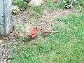 Cardinal couple.JPG