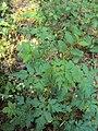 Cardiospermum halicacabum 17.JPG