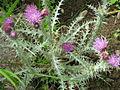 Carduus carlinoides 001.JPG