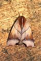 Carea parangulata (Nolidae- Chloephorinae- Careini) (5698626779).jpg
