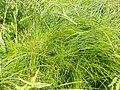 Carex cespitosa kz09.jpg