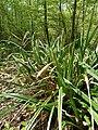 Carex pendula plant (5).jpg