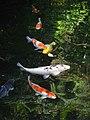 Carp pond, Trebah Gardens - geograph.org.uk - 992729.jpg