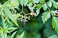 Carpenter-mimic leafcutter bee (42378890265).jpg