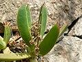 Carpobrotus edulis (Villa Hanbury, Italy) 2.jpg