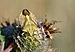 Carpocoris fuscispinus qtl2.jpg