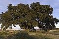 Carrasca del Plano del Águila - panoramio.jpg