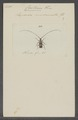Carterica - Print - Iconographia Zoologica - Special Collections University of Amsterdam - UBAINV0274 034 27 0005.tif