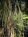 Casuraina torulosa foliage.jpg