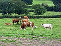 Cattle, Potterne Wick - geograph.org.uk - 1431197.jpg