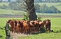 Cattle - geograph.org.uk - 420179.jpg
