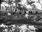 Cattle coming in to water (2485152358).jpg