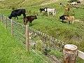 Cattle grazing and dead moles by Westburnhope Bridge - geograph.org.uk - 1458461.jpg