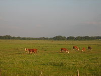 Cattle grazing on ranch lands between Beeville and Goliad, Texas