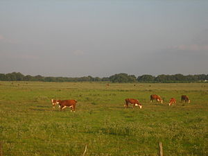 Beeville, Texas - Image: Cattle near Beeville, TX IMG 0987