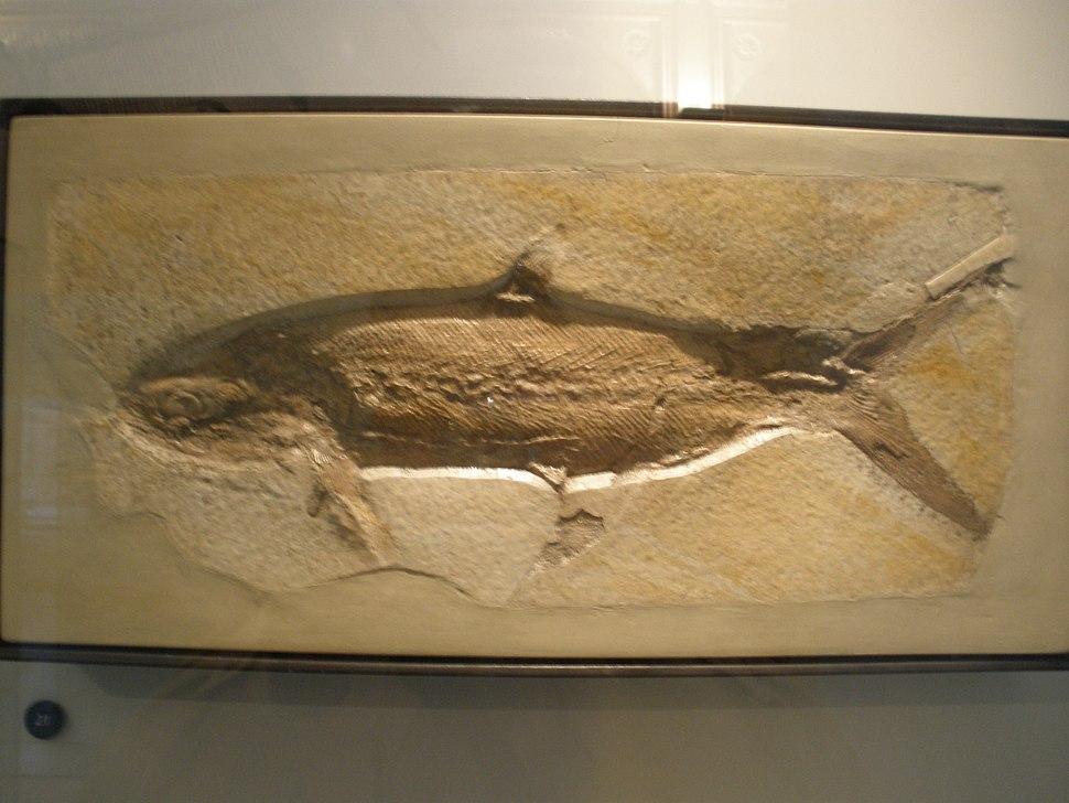 Caturus velifer