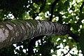 Cecropia obtusifolia 25zz.jpg