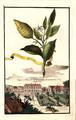 Cedro piccolo Volkamer 1708 124b.png