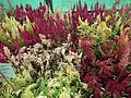 Celosia wool flower from Lalbagh flower show Aug 2013 8462.JPG