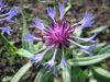 Centaurea triumfettii.jpeg