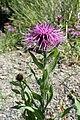 Centaurea uniflora kz01.jpg