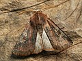 Cerastis leucographa - White-marked - Весенняя совка серо-бурая (27207297338).jpg
