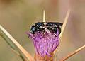 Ceratina chalcites female 1.jpg