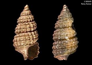 <i>Cerithiopsis</i> Genus of sea snails