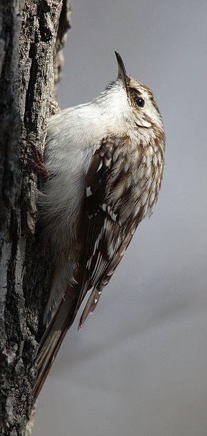 Treecreeper - Brown creeper (Certhia americana)