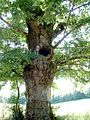 Chêne à hiboux oak with owls hole (1134522401).jpg