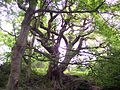 Chained Oak, Alton Village, Staffordshire (1 June 2006).jpg