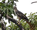 Changeable Hawk eagle - Crested Hawk-Eagle - Flickr - Lip Kee.jpg