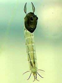 Chaoborus sp. pupa, Netherlands.jpg