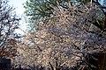 Cherry blossoms 0012 - Washington DC - 2014-04-10 (13772878105).jpg
