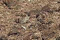 Chestnut-collared Longspur Davis Pasture Sonoita AZ 2018-01-26 11-49-18 (39912879782).jpg
