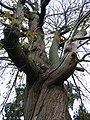 Chestnut tree at Saltram House - geograph.org.uk - 1096686.jpg