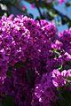 Chile - Santiago 17 - summer flowers (6978216803).jpg