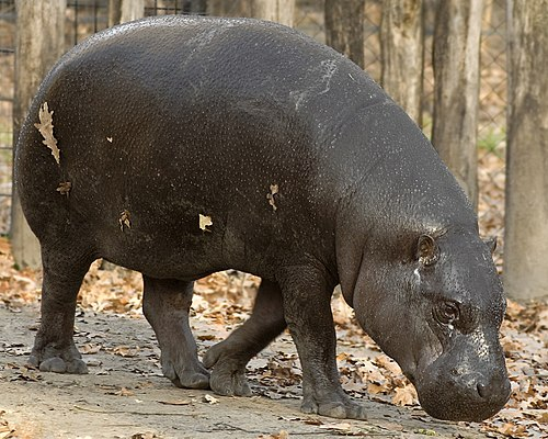 Pygmy hippos are among the species illegally hunted for food in Liberia. The World Conservation Union estimates that there are fewer than 3,000 pygmy hippos remaining in the wild. Choeropsis.jpg
