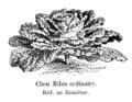 Chou Milan ordinaire Vilmorin-Andrieux 1904.png