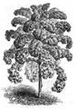 Chou frisé vert grand Vilmorin-Andrieux 1883.png