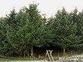 Christmas trees^ - geograph.org.uk - 298161.jpg